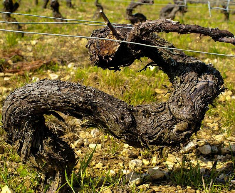 arbre cep de vigne