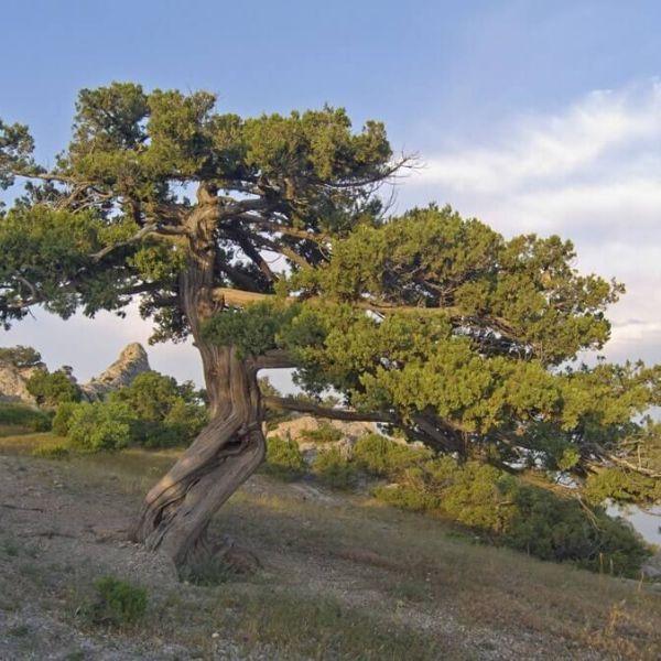 arbre genévrier