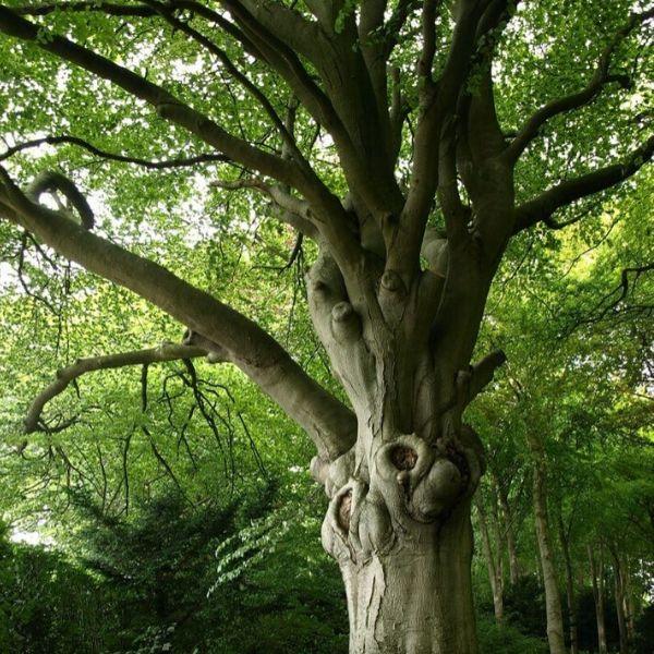 arbre hetre aubrac