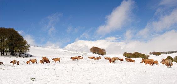 vaches-aubrac-neige