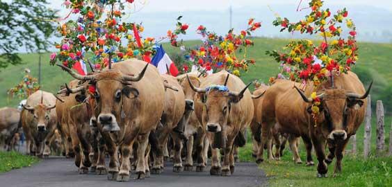 vaches-aubrac-transhumance